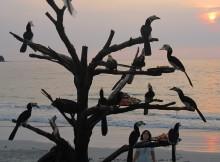 Feeding Oriental Pied Hornbills