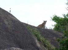 Wild leopard in Yala National Park, Sri Lanka