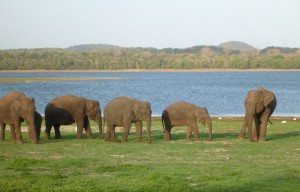 Elephant gathering in minneriya national park
