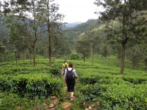 Trekking back down through lush tea plantations.
