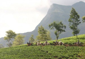 Horseback riding through tea plantations!