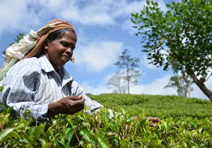 A woman busy plucking tea in the morning
