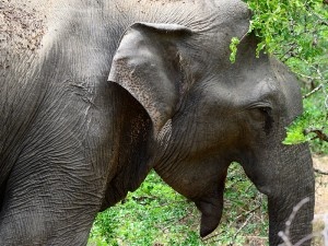 An elephant I saw on my way to see sloth bears.