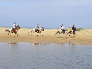 The Indian Marwari horses are wonderful.