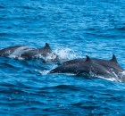 dolphins in the blue ocean